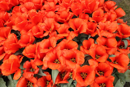 upclose: red tulips