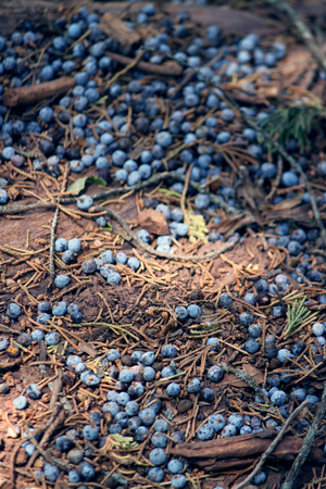 Blue juniper berries fallen to the ground on a bed of pine needles