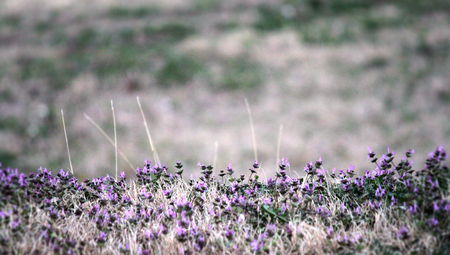 great plains: Patch of tiny purple flowers you pick when you are a kid