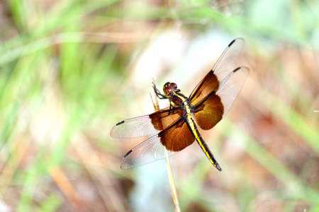 dragonfly in flight with wings spread and flying with out of focus background 版權商用圖片