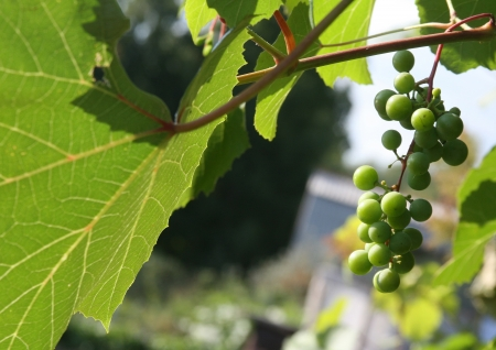 pinot grigio: keep pace with grapes in Siberia Stock Photo