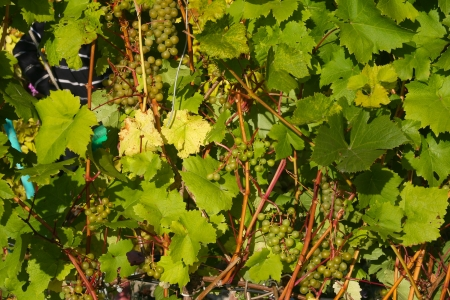 pace: keep pace with grapes in Siberia Stock Photo
