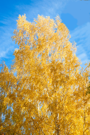 yellow birch leaves against the blue sky