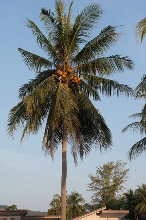 Coconut palm with ripe coconuts against the blue sky in Thailand on the island of Phuket. Travel. Exotic. Harvest