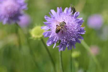 Busy bee is attracted by the purple color of the bachelor's button cornflower