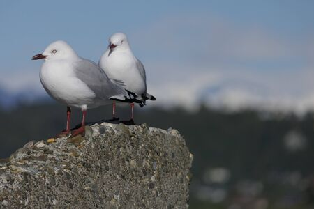 Two seagulls rest from their predatory fish catches on a cliff Banque d'images