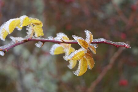 Surprising morning frost and frozen dew in nature: no problem for the plant, the delicate yellow plant leaves appear even more beautiful than usual