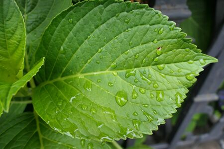 A feeling of freshness: green leaf with water pearls after a short rain shower