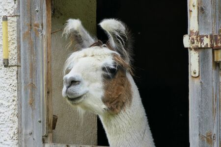 A lama or more precisely a domesticated llama observes the farm activities from the stable