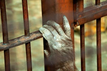 rejas de hierro: Mono encarcelado