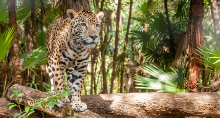 Walking Jaguar Stock Photo