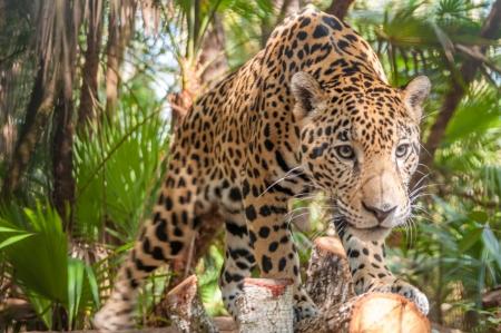 ジャングルの中でジャガー