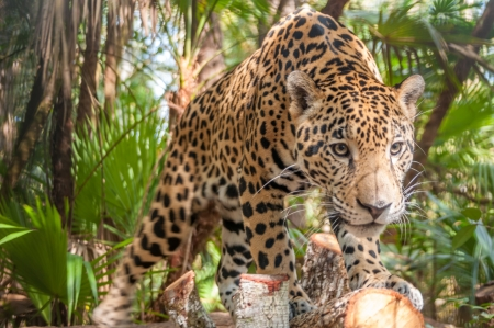 Jaguar in The Jungle Stock Photo
