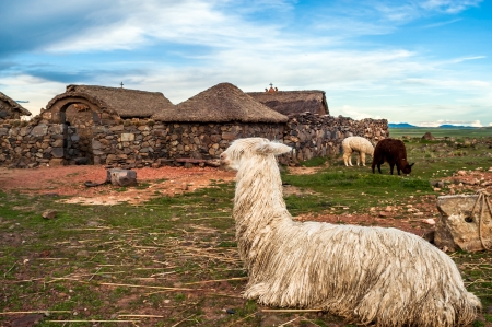 the lama: Lama at Home