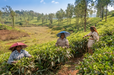 periyar: Picking of Tea in Periyar - India