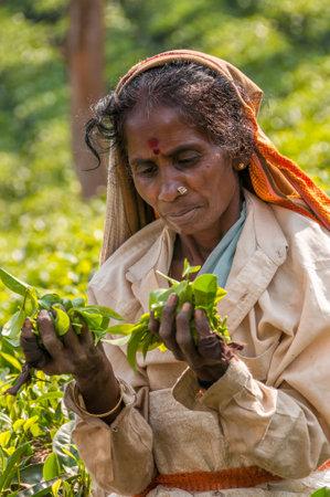 periyar: Woman with Tea Leafs from Periyar - India