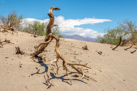 death valley: Dry Tree at the Sand Dune in Death Valley