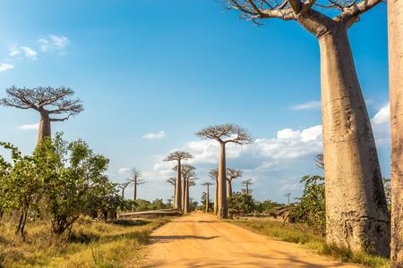 madagascar: Baobabs avenue - Morondava ,Madagascar Stock Photo