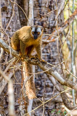 madagascar: Red-fronted lemur Eulemur rufifrons, Madagascar Stock Photo