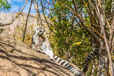 madagascar: Ring-tailed lemur Madagascar Lemur catta- Stock Photo