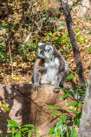 anja: Ring-tailed lemur Madagascar Lemur catta- Stock Photo
