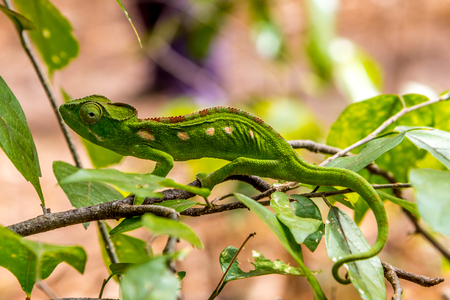 anja: Green chameleon in Anja nature reserve - Madagascar