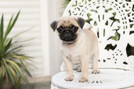 Cute pug puppy on white chair