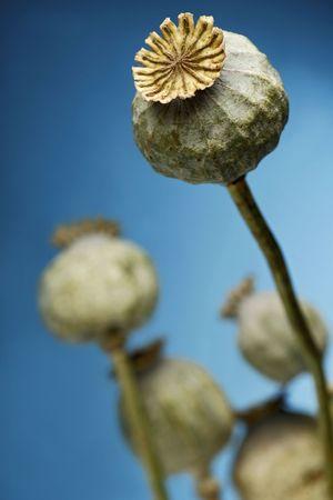 poppy plant against blue sky photo