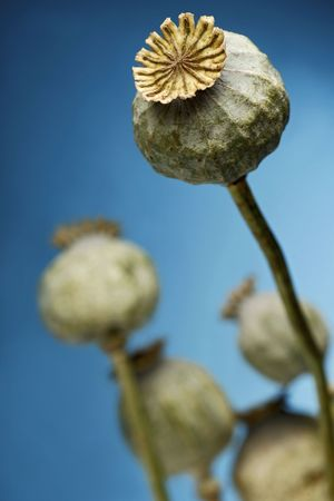 poppy plant against blue sky photo