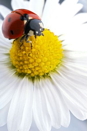 flower ladybug: ladybug on flower petals