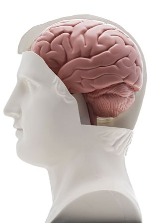 exposed: a model human head with the brain exposed