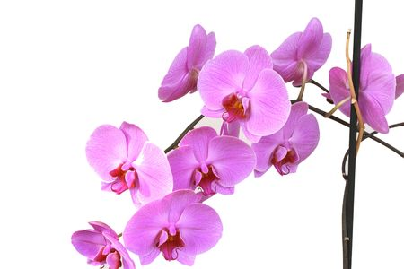 orchid isolated on white Stock Photo