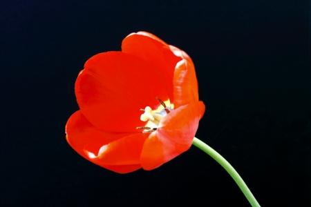 tulip on the black background Stock Photo