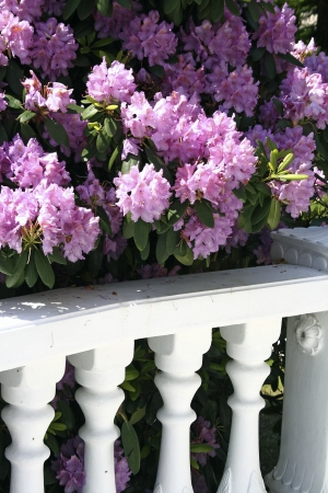 balustrade and flowers of Rhododendron