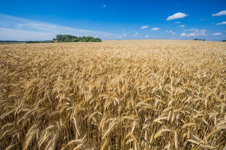 Beautiful landscape of field with grown cereal photo