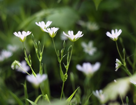 chickweed: Beautiful white wild flowers growing in spring forest, chickweed