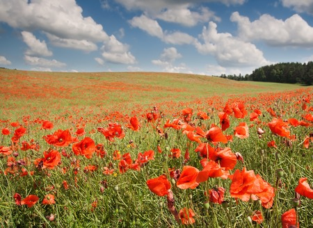Beautiful landscape with poppies field under blue sky and clouds photo