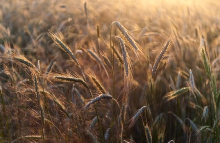 grown up: close up of beautiful grown up rye ears in sunset light