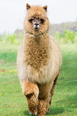 Face of alpaca (Vicugna pacos) from farm photo
