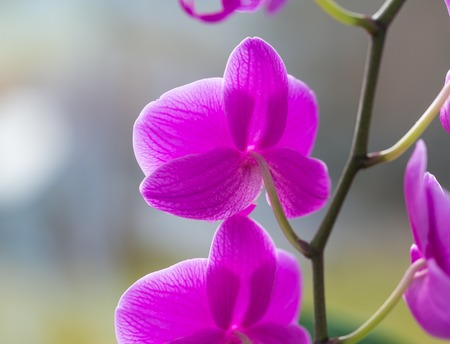 Blooming beautiful pink orchid flowers, exotic plant photo