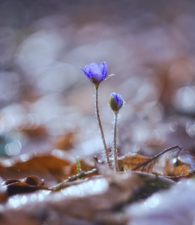 liverworts, beautiful springtime flowers growing in the forest photo