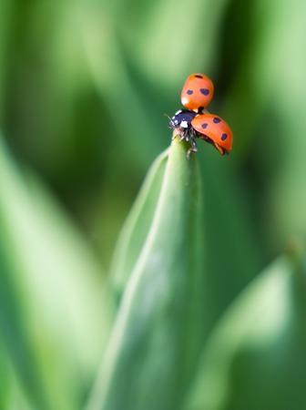Beautiful ladybug sitting on springtime plant, macro photo