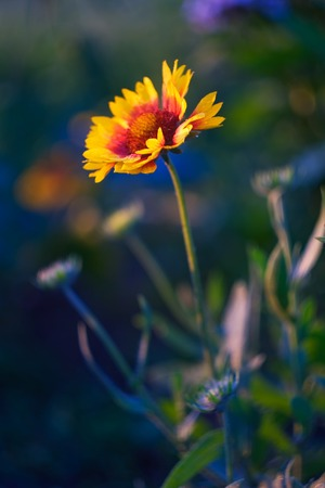 Beautiful american cone flowers in close up, photographet at sunset photo