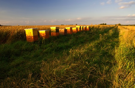 beekeeping: Beekeeping with buckwheat in the background. landscape Stock Photo