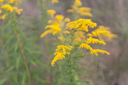 goldenrod: Goldenrod flower or Solidago Canadensis, honey plant, sunset, close-up, selective focus