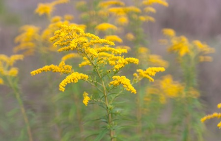 canadensis: Goldenrod flower or Solidago Canadensis, honey plant, sunset, close-up, selective focus