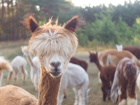 Beautiful alpaca (Vicugna pacos) living on farm, animal portrait