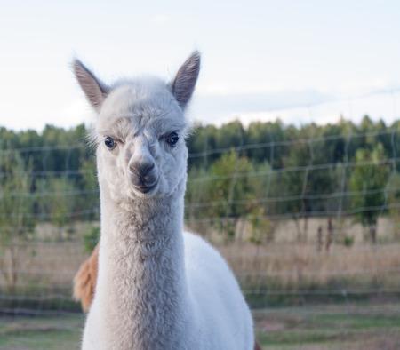 alpaca animal: Beautiful alpaca (Vicugna pacos) living on farm, animal portrait
