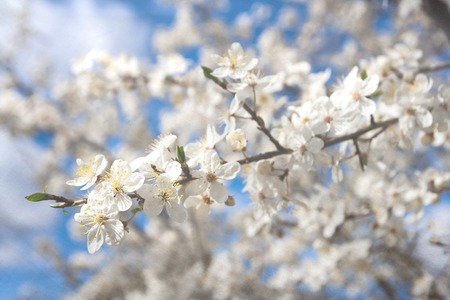 Beautiful blossoming cherry branches at springtime photo