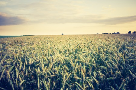 lomography: Cereal field with ears, rural landscape. Photo with vintage mood